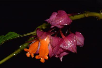 Imagen destacada de la nota Besleria santaclarensis